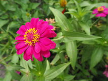 Pink Zinnia flower. Zinnia violacea bloom on green leaves in the garden stock photos