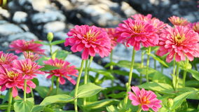 Pink Zinnia Flower. In the garden Stock Image