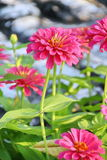 Pink Zinnia Flower. In the garden Royalty Free Stock Photo