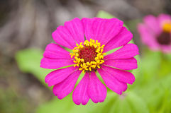 Pink Zinnia Flower Royalty Free Stock Photos