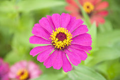 Pink Zinnia Flower Stock Photo