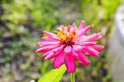Pink zinnia flower Royalty Free Stock Image
