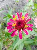 Pink zinnia flower Stock Photos