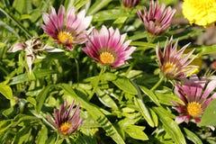 Pink zinnia. Flower in the garden Stock Images
