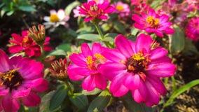 Pink Zinnia flower garden. Pink Zinnia garden planted by KMITL student, Bangkok Royalty Free Stock Image