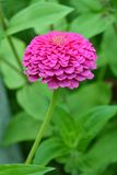 Pink zinnia flower Royalty Free Stock Image