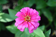 Pink zinnia flower. In gardens Stock Photography