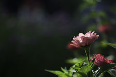 Pink Zinnia Flower. A pink zinnia flower glows in the late afternoon sunlight stock photo