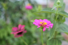 Pink zinnia flower on green background. Stock Photos