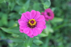 Pink zinnia flower on green background. Stock Image
