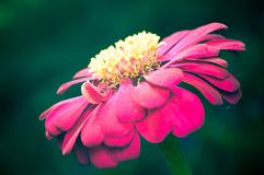 Pink Zinnia Flower on Green Background Closed-up Royalty Free Stock Photo