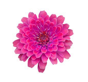 Pink zinnia flower isolated Royalty Free Stock Images