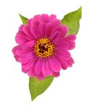Pink zinnia Royalty Free Stock Photography