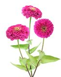 Pink zinnia flower Stock Photography