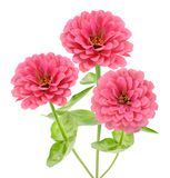 Pink zinnia. Flower isolated on white royalty free stock photo