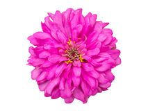 Pink zinnia flower isolated Royalty Free Stock Image