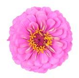 Pink zinnia flower Royalty Free Stock Photo