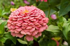 Pink zinnia flower with layered petals Stock Photos