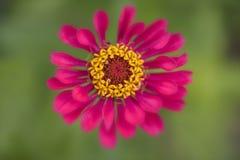 Pink Zinnia flower macro Stock Photos