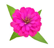 Pink Zinnia Flower Stock Images