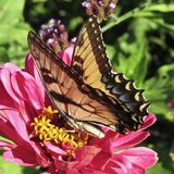 Pink zinnia flower providing nectar to Eastern tiger swallowtail butterfly Papilio glaucus stock photography