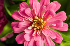 Pink Zinnia flower showing petals Stock Photos