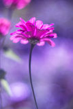 A pink zinnia flower with soft focus on a purple background. Beautiful artistic image with the toning. Stock Image