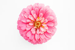 Pink zinnia flower on white background Royalty Free Stock Image