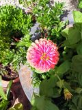 Pink zinnia flower with yellow center royalty free stock images