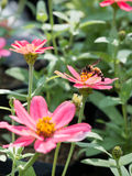 Pink Zinnia flowers and bee with blur background. (Soften Style Stock Image