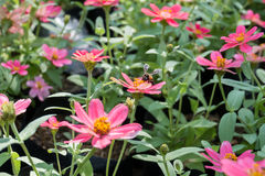 Pink Zinnia flowers and bee with blur background. (Soften Style Stock Photography