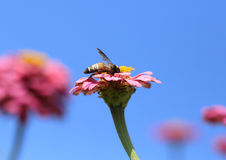 Pink zinnia flowers and bee Stock Images