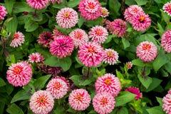 Pink zinnia flowers in garden Stock Images