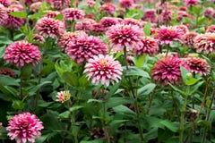 Pink zinnia flowers in garden Stock Photos