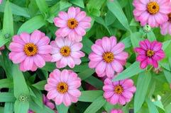 Pink zinnia flowers Stock Photography