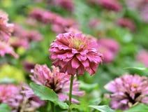 Pink zinnia flowers in the garden Stock Photos