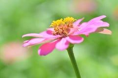 Pink Zinnia  flowers Royalty Free Stock Image