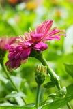 Pink zinnia Royalty Free Stock Photos