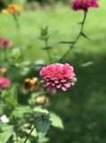 Pink Zinnia Royalty Free Stock Photo