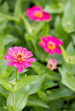 Pink Zinnia Flowers. Stock Photo