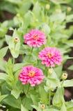 Pink Zinnia Flowers. Stock Photos