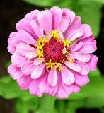 Pink zinnia in the garden Stock Photo