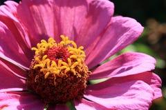 Pink Zinnia in the garden. Pink Zinnia macro in the garden Stock Image