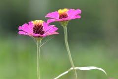 Pink zinnia Stock Image
