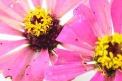 Pink zinnia petals flower Stock Images