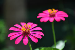 Pink zinnia in sunlight Royalty Free Stock Images