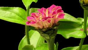 Pink Zinnia Time-lapse stock video