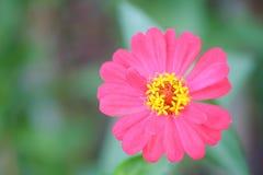 Pink zinnia tree , Pink zinnia closeup.Focus top carpel. Royalty Free Stock Image