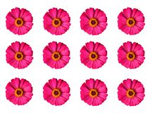 Pink zinnia violacea flower with yellow pollen alignment isolated on white background. With copy space stock photos