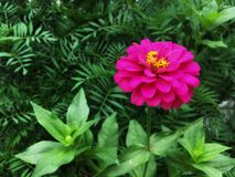 Pink zinnia violacea flower with yellow pollen is blooming on stalk in the garden. stock photography
